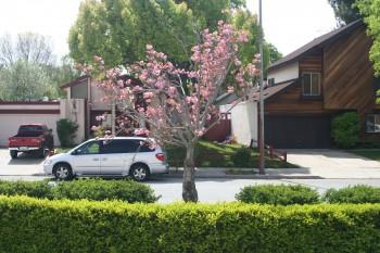 Bye-bye cherry tree.