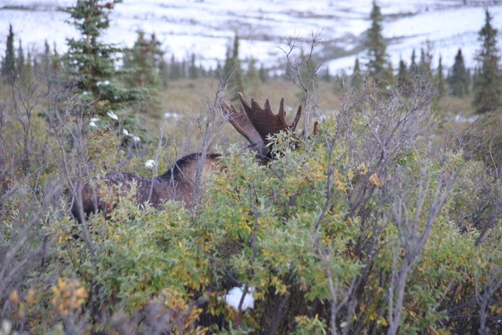Moose hiding behind a bush in Denali National Park, Alaska.